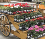 geraniums plants and things e1552015562305 150x131 - Volunteer