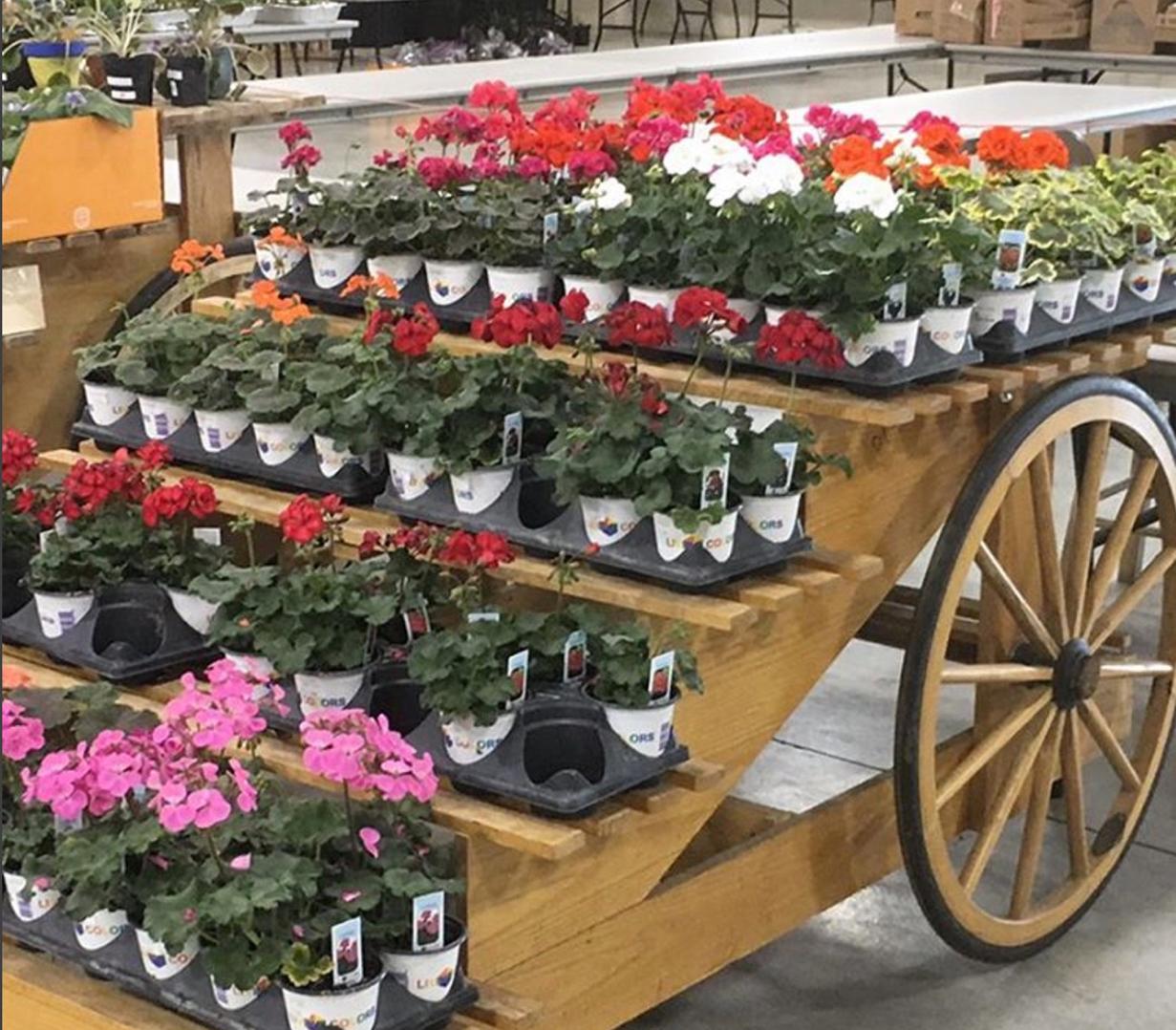 geraniums plants and things - Volunteer
